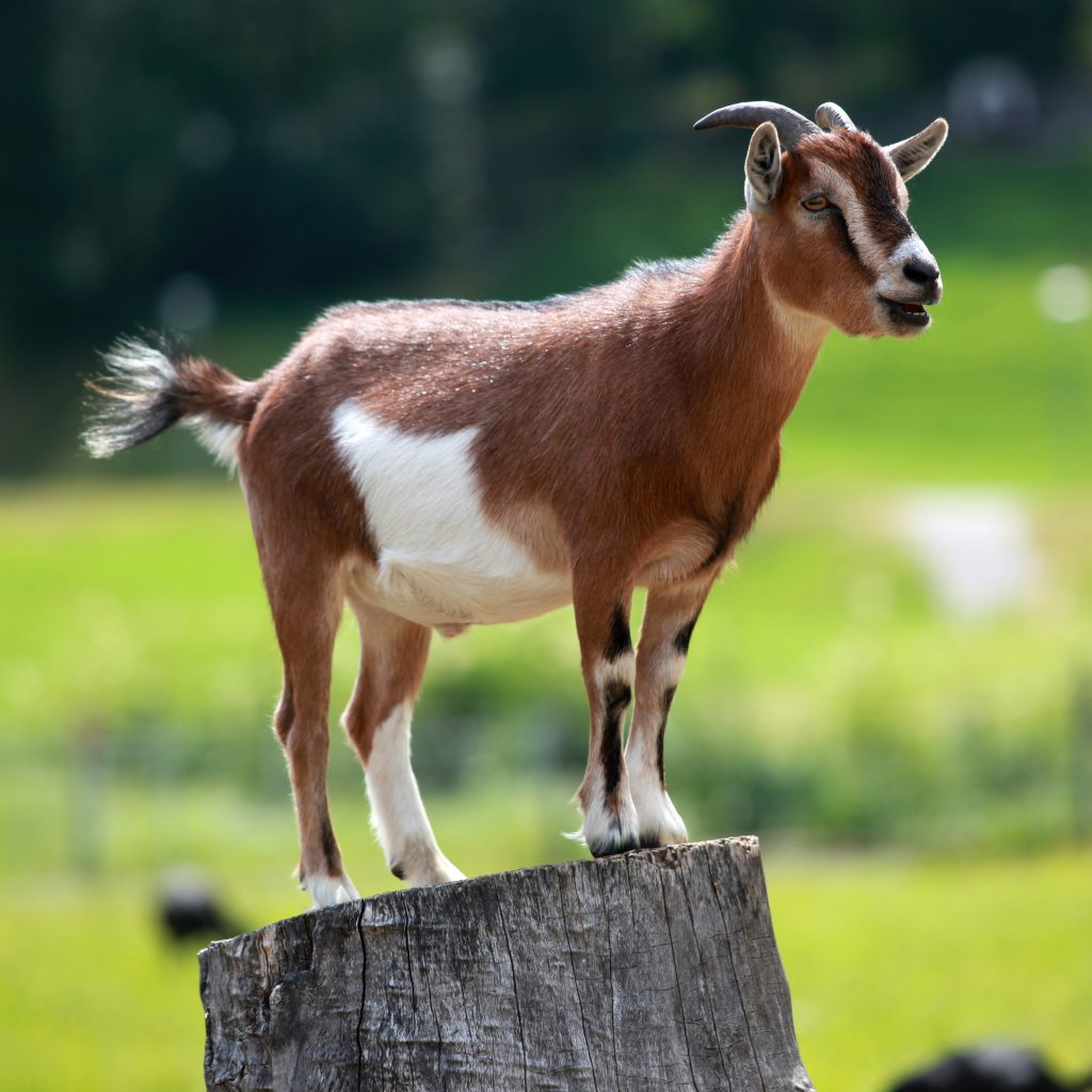 A true GOAT (Greatest Of All Time)